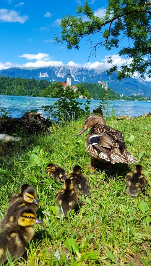 在布莱德湖,斯洛文尼亚的鸭子家庭 库存照片