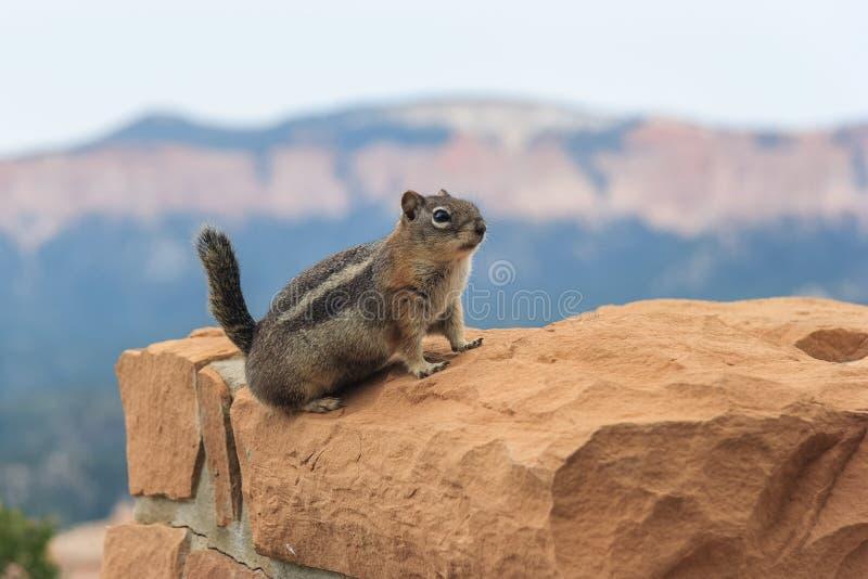 在布赖斯全国津贴犹他美国的地松鼠 免版税库存图片