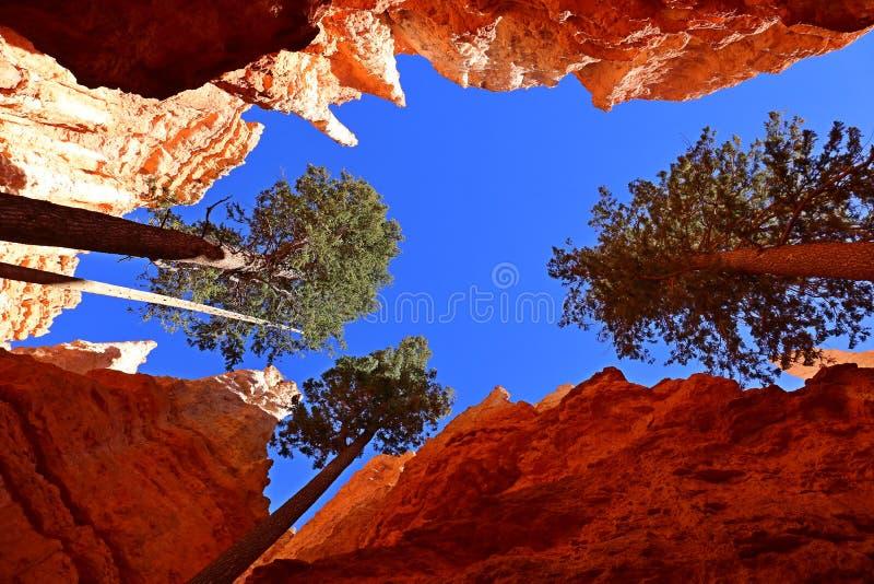 在布赖斯峡谷NP,犹他,美国的杉树 免版税库存图片