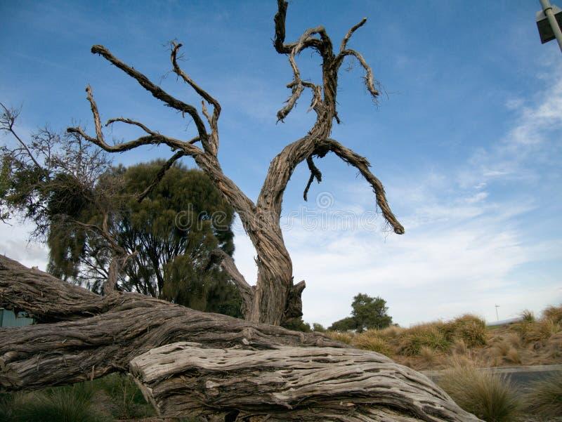 在布赖顿澳大利亚附近的老干树 库存图片