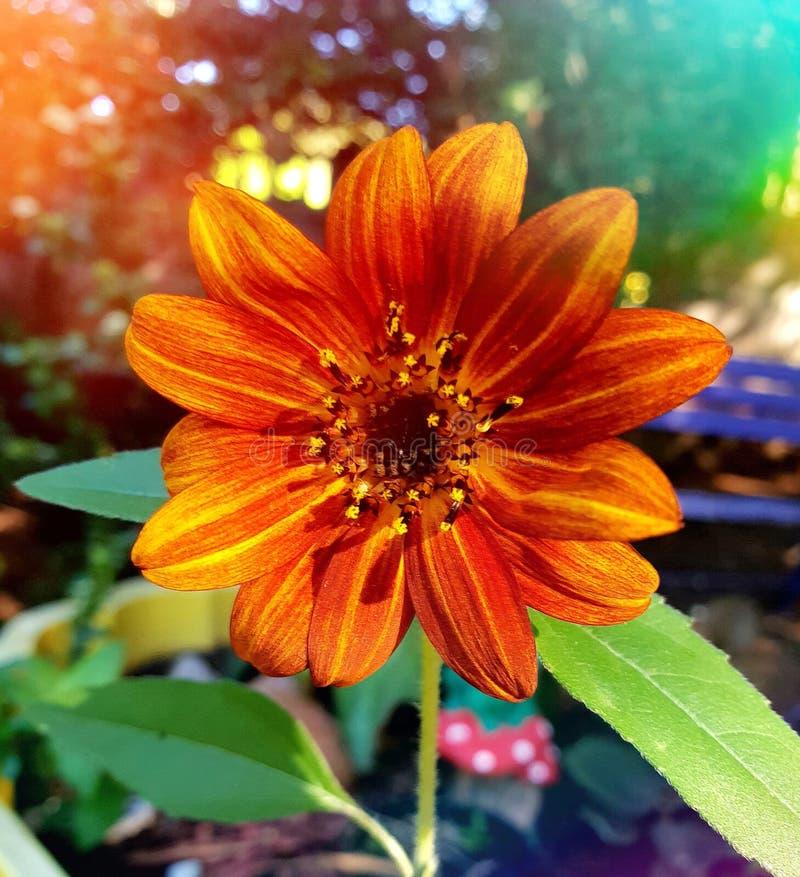 在布隆方丹拍摄的被烧的橙红向日葵,南非 库存照片