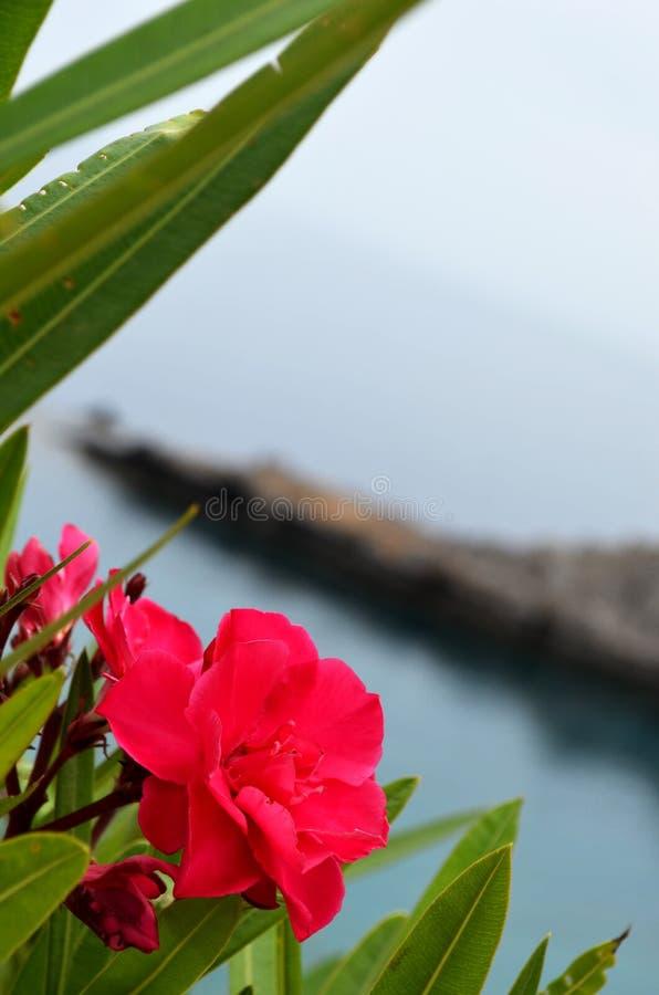在希腊找到的一朵美丽的桃红色花 免版税库存照片