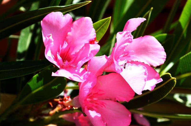 在希腊找到的一朵美丽的桃红色花 免版税库存图片