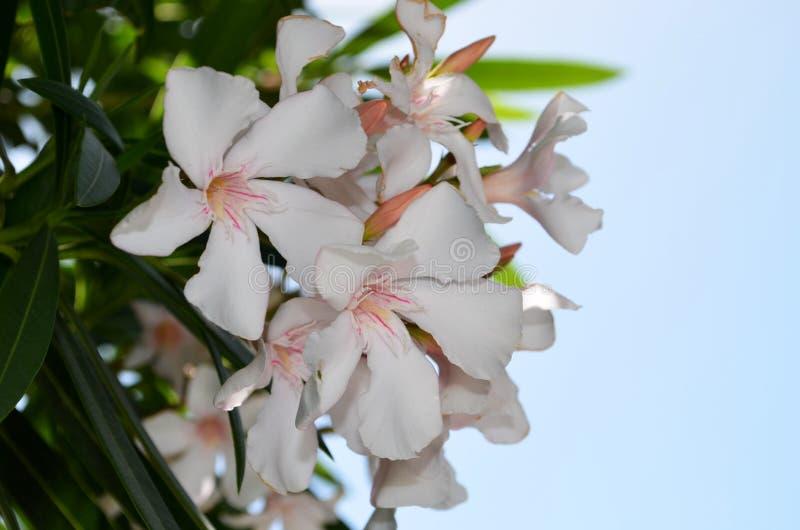 在希腊找到的一束美丽的白花 库存照片