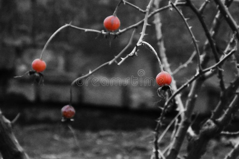 在带红色颜色的犬蔷薇在black&white背景 图库摄影