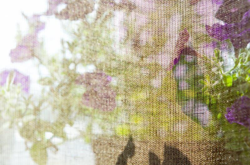 在帷幕喇叭花花后的窗台 库存图片