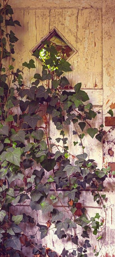 在常春藤盖的门在一个被放弃的房子里 免版税库存照片