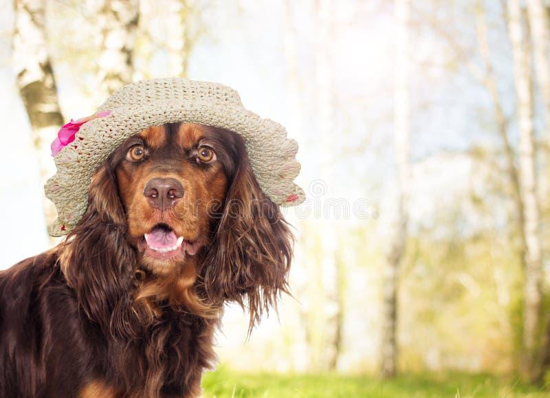 在帽子的西班牙猎狗狗 图库摄影