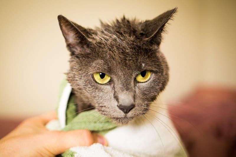 在干净的浴以后的湿和哀伤的猫在毛巾 免版税库存图片
