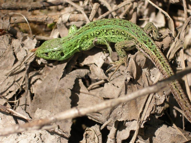 在干叶子背景的蜥蜴  春天 免版税库存图片