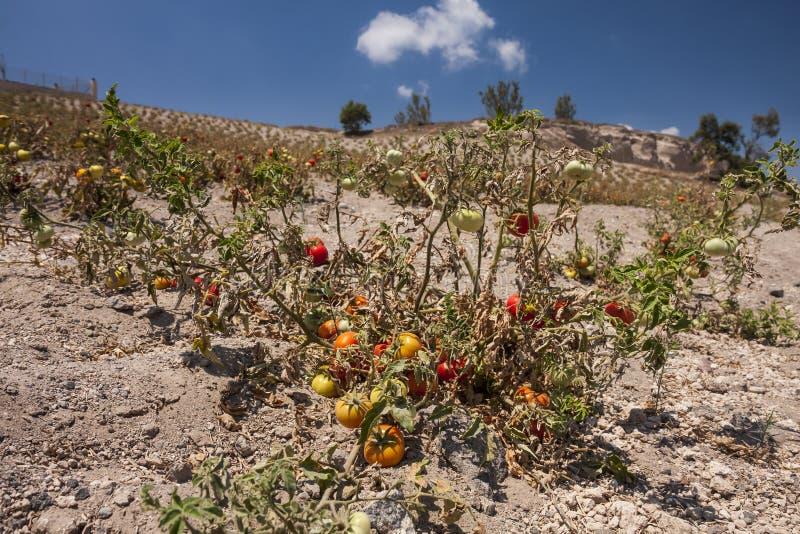 在干旱的土壤的蕃茄文化在圣托里尼 免版税库存照片