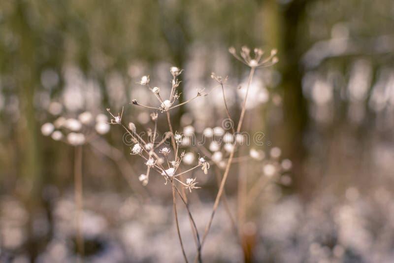 在干植物干燥花的雪花  库存图片