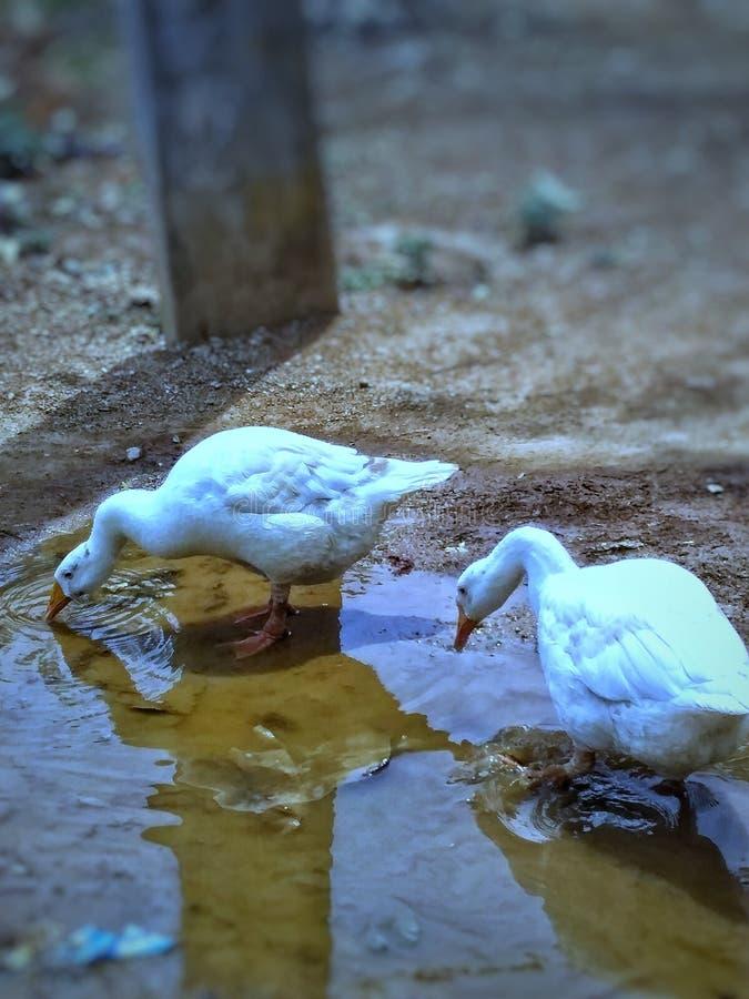在干渴的鸭子 库存图片