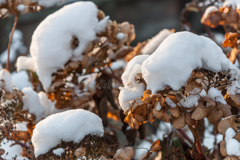 在干燥八仙花属头状花序的雪盖帽 图库摄影