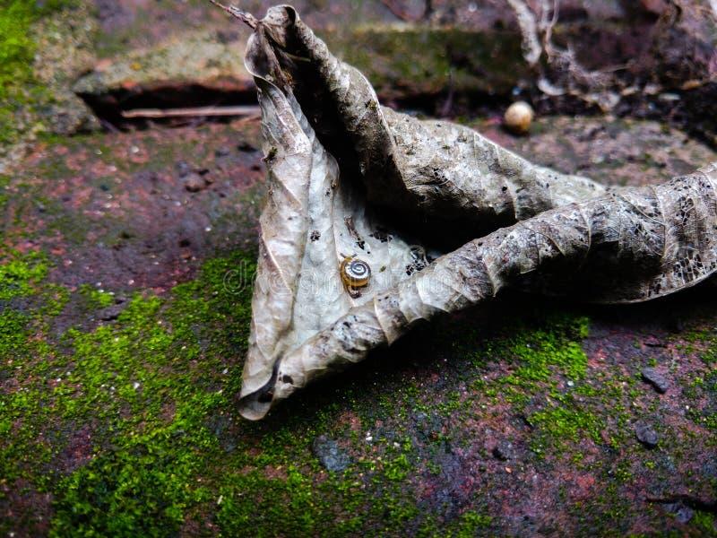 在干燥分解的死的叶子机动性摄影的微小的蜗牛 库存图片