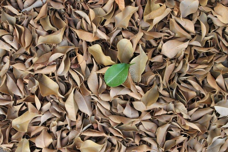 在干燥叶子的一片唯一绿色叶子 免版税库存图片