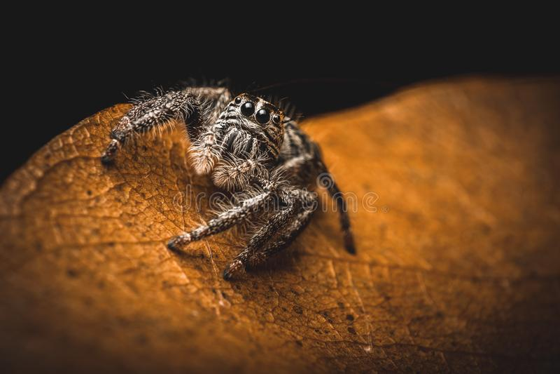 在干燥叶子的超级宏观跳跃的蜘蛛hyllus,极端放大,蜘蛛在泰国 免版税图库摄影