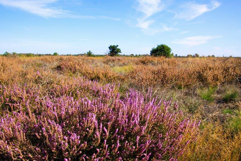 在干燥无尽的荒野景观上欣赏希瑟紫色的艾丽卡花丛 — 荷兰埃因霍温附近的Strabrechtse Heide 免版税库存照片