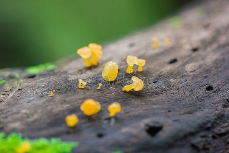 在干燥木头的黄色真菌在森林里 免版税图库摄影