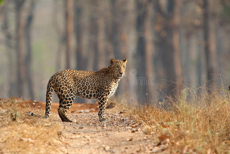 在干燥森林轨道站立的豹子 库存照片