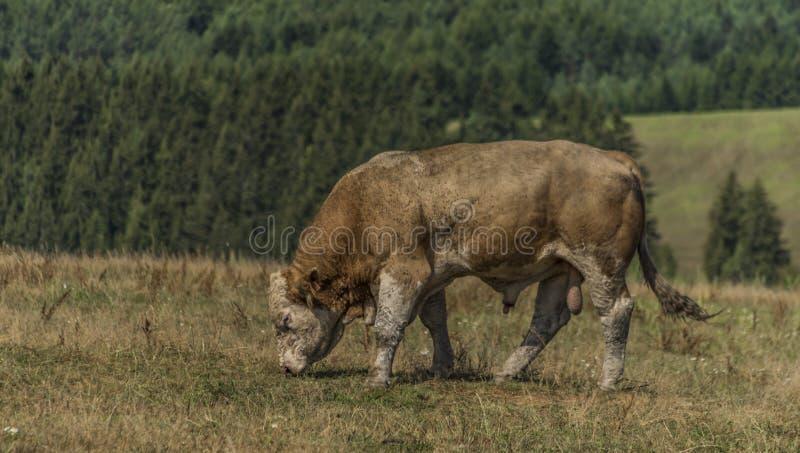 在干燥牧场的老公牛在热的夏日 库存图片