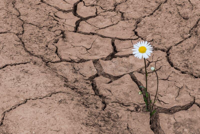在干燥破裂的土壤的戴西 Leucanthemum vulgare 库存图片