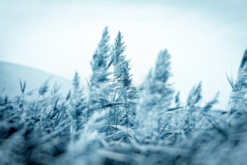 在干燥芦苇的选择聚焦-在芦苇的领域的冬日-藤茎 免版税库存图片