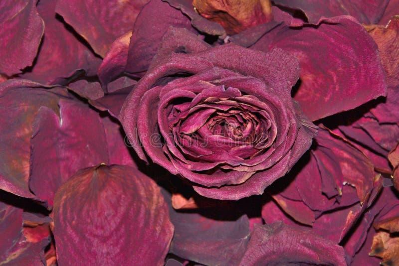 干玫瑰色_在干燥芬芳瓣背景的深红干玫瑰色花
