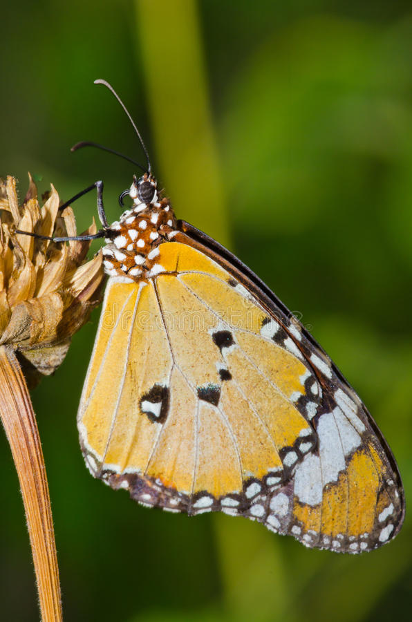 在干燥花的橙色蝴蝶 免版税库存照片