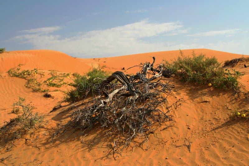 在干燥被烧的死的光秃的树的看法在与备用的绿色植被的红色橙色沙丘 库存照片
