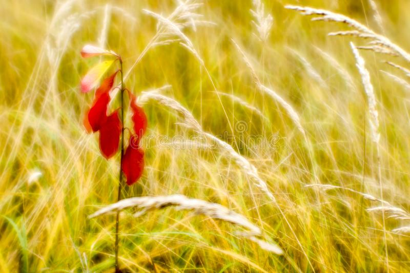 在干燥高草背景的红色年轻卫矛在秋天的 浅景深照片在软的透镜被采取了 ?? 免版税库存图片