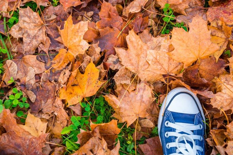 在干燥黄色槭树秋叶的蓝色运动鞋鞋子,顶视图 库存照片