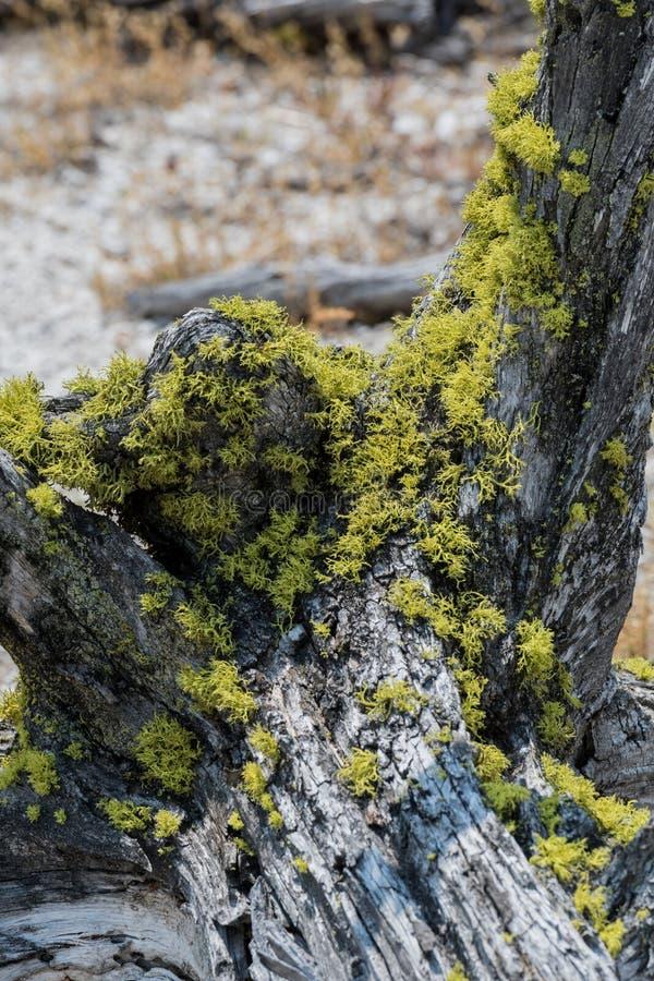在干老树树桩的青苔  库存图片