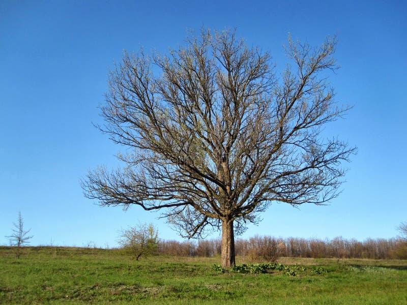 在干草原的树 免版税库存图片