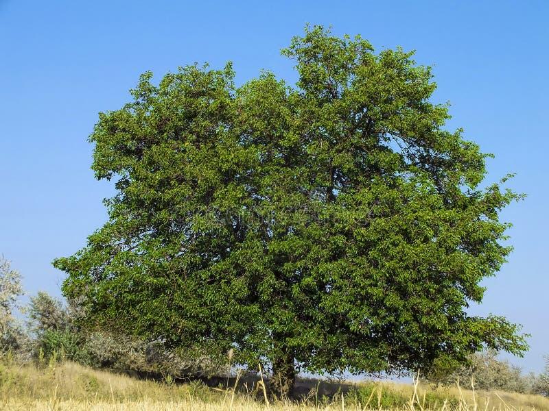 在干草原的桑树 库存照片