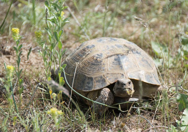 在干草原草的乌龟在一个晴天 免版税库存照片