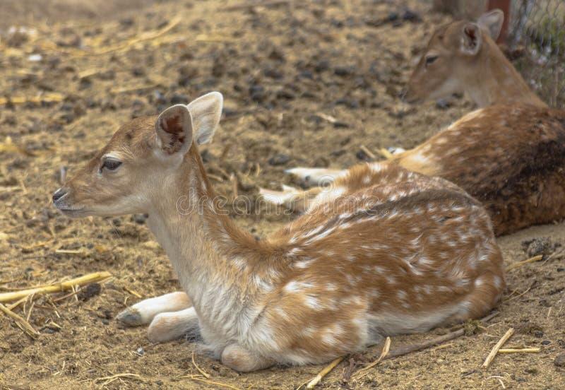 在干草的一只年轻獐鹿的画象 Hadjidimovo,保加利亚 库存照片