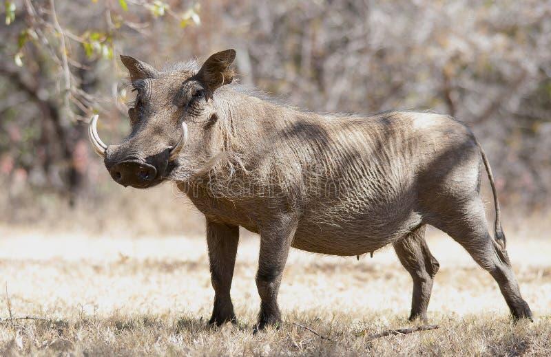 在干草的Warthog在克鲁格公园 免版税库存照片