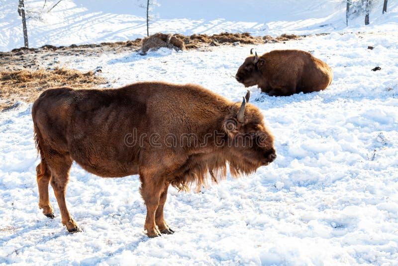 在干草附近的雪地上,站着两只雌性棕色大俾斯麦或华尔街牛 濒危动物 免版税图库摄影