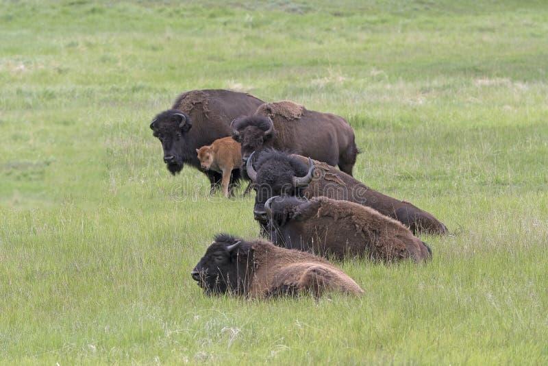 在平原的北美野牛牧群 免版税图库摄影