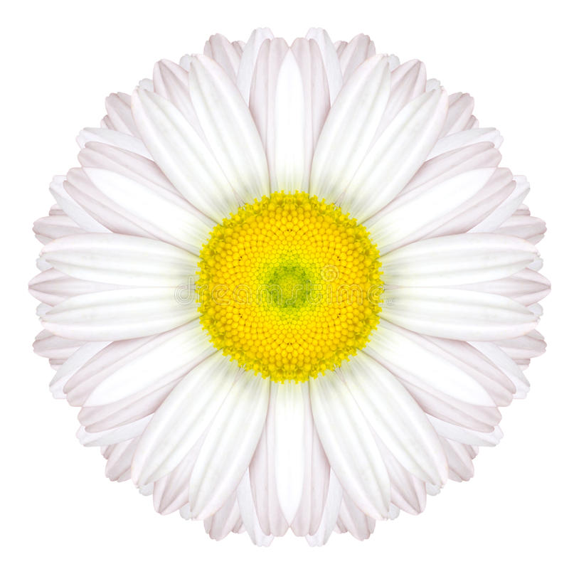 在平原隔绝的白色同心雏菊坛场花 库存图片