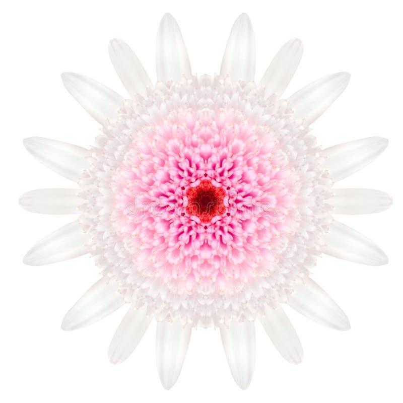 在平原隔绝的白色同心雏菊坛场花 图库摄影