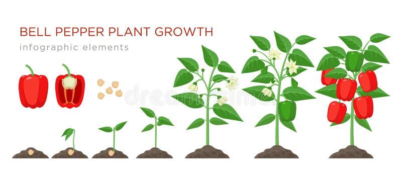 在平的设计的甜椒植物生长阶段infographic元素 甜椒,新芽的种植过程从种子的 库存例证