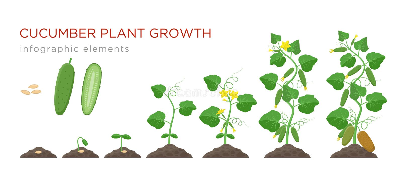 在平的设计的黄瓜植物生长阶段infographic元素 黄瓜的种植过程从种子的发芽对成熟 向量例证