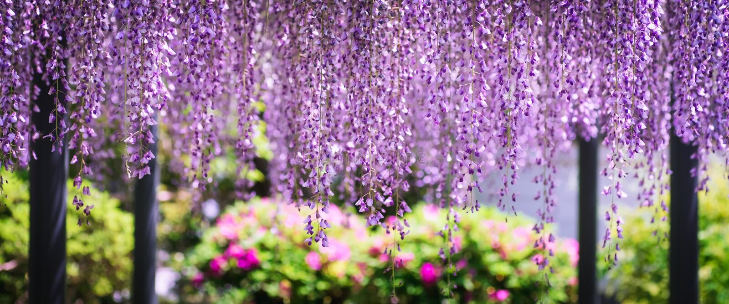 在平等院寺庙的紫藤Byodo在Uji,京都,日本 免版税库存图片
