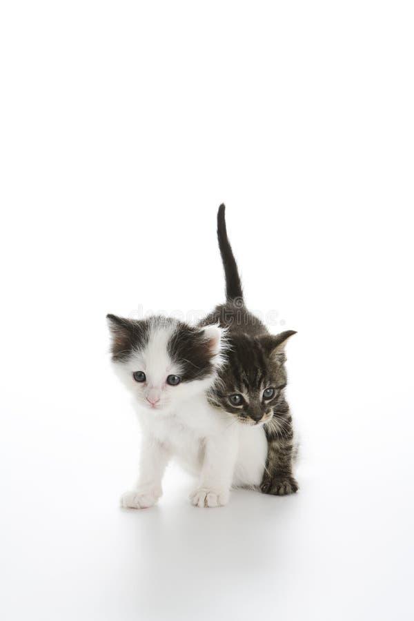 在平纹走的白棉布小猫 库存图片
