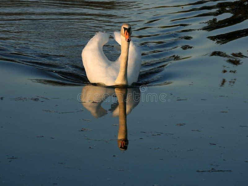 在平衡湖2的疣鼻天鹅游泳 免版税库存图片