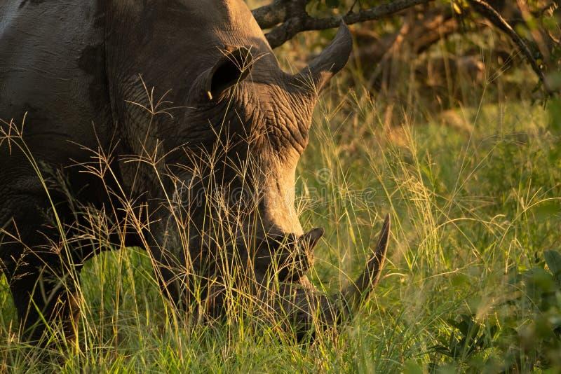 在平衡的太阳的灌木拍摄的白色犀牛,在萨比沙子比赛储备,克鲁格,南非 免版税图库摄影