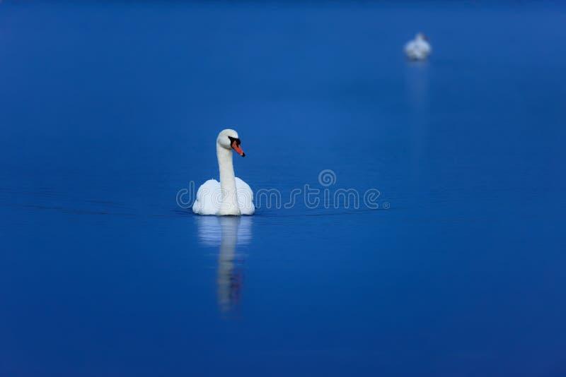 在平静的大海的天鹅 免版税库存照片