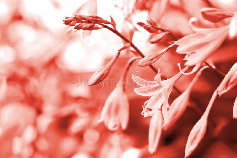 在年的主要时髦生存珊瑚颜色的玉簪属植物花2019年 库存照片